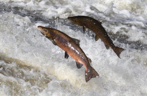 two salmon fish jumping upstream