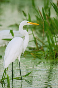 white bird in the water